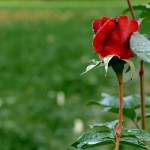 Blattläuse bei Rosen wirksam bekämpfenn