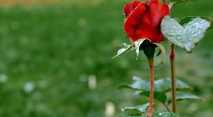 rose-996719_1280